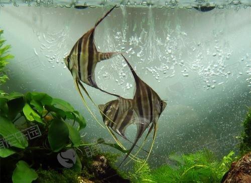 埃及神仙鱼该怎么饲养?